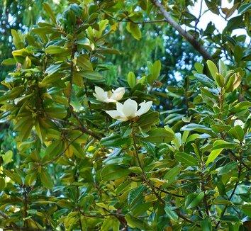 Magnolia grandiflora 16 flower
