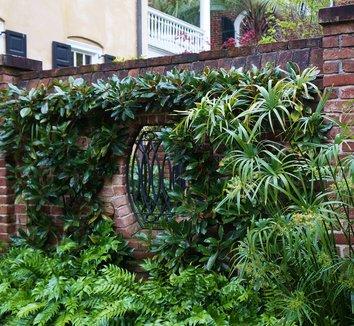 Magnolia grandiflora 18