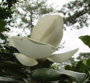 Magnolia grandiflora 21 flower