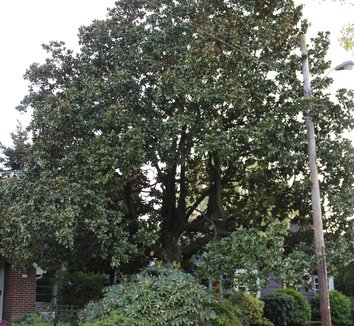 Magnolia grandiflora 22 form