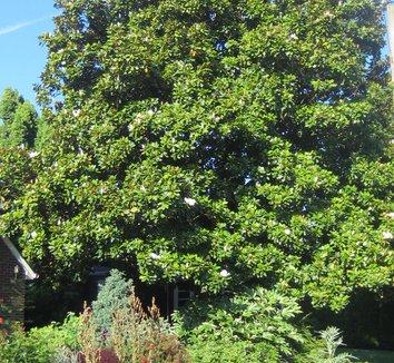 Magnolia grandiflora 23 landscape
