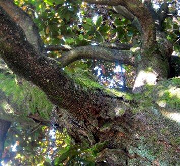 Magnolia grandiflora 24 landscape