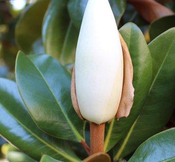 Magnolia grandiflora 25 flower