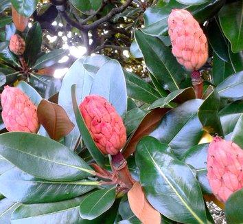 Magnolia grandiflora 27 seedhead