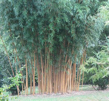 phyllostachys aurea 39 holochrysa 39 phyllostachys aurea f holochrysa holochrysa golden bamboo. Black Bedroom Furniture Sets. Home Design Ideas