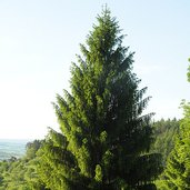 Picea abies