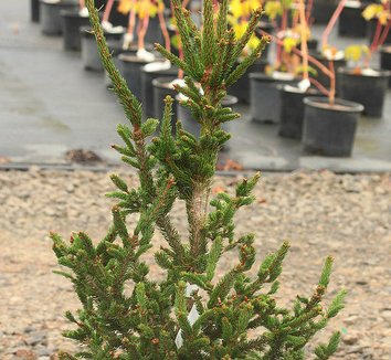 Picea abies 'Hillside Upright' 1 form