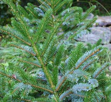 Picea bicolor 1