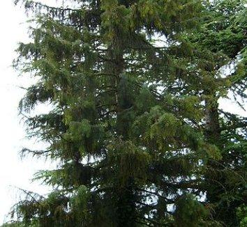 Picea breweriana 6 form