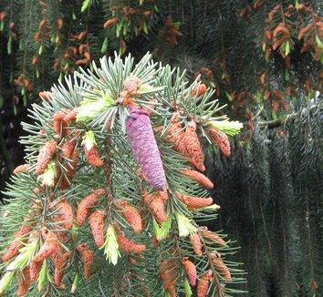 Picea breweriana 7 cones