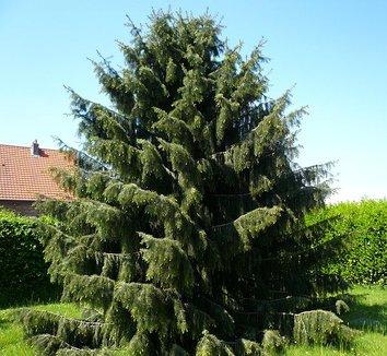 Picea breweriana 1 form