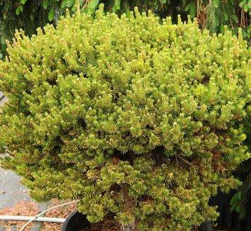 Pinus banksiana 'Chippewa' 4 form