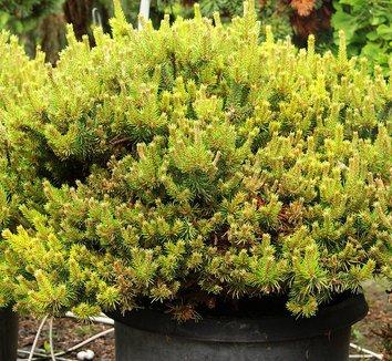 Pinus banksiana 'Chippewa' 5 form
