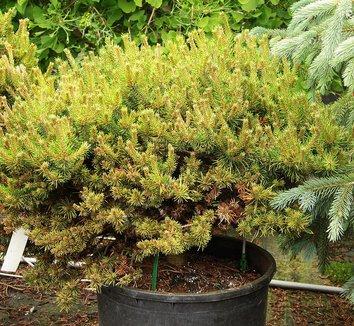 Pinus banksiana 'Chippewa' 7 form