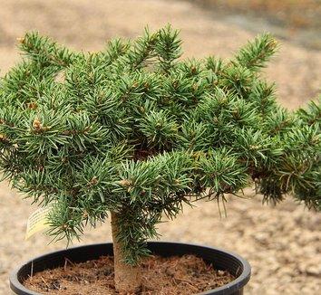 Pinus banksiana 'Schoodic' 1 form
