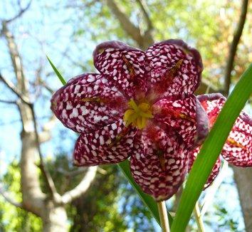 Fritillaria meleagris 1 flower