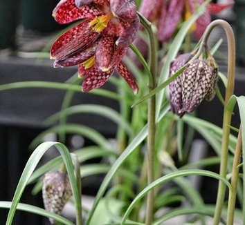 Fritillaria meleagris 10 flower, form
