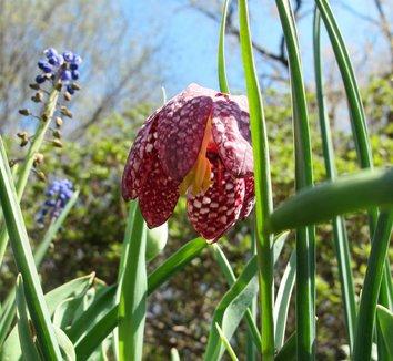 Fritillaria meleagris 12