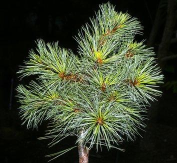 Pinus strobus 'Beran' 1