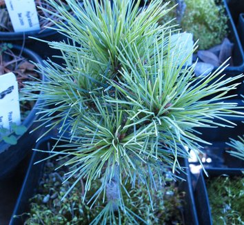 Pinus strobus 'Sea Urchin' 1