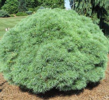 Pinus strobus 'Sea Urchin' 1 form