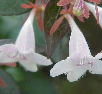 Abelia floribunda 6 flower