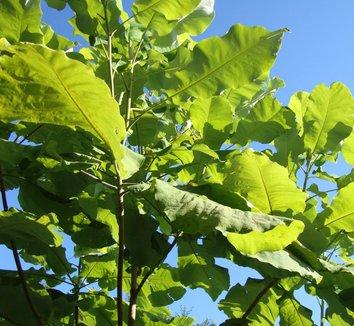 Magnolia macrophylla 2 form