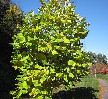 Magnolia macrophylla 3 form