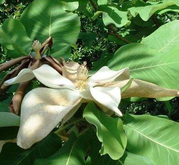 Magnolia macrophylla 5 flower