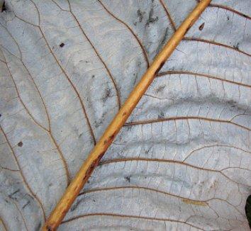 Magnolia macrophylla 18