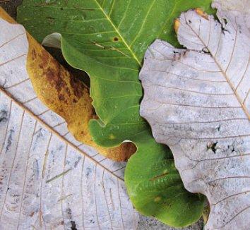 Magnolia macrophylla 17