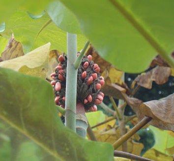 Magnolia macrophylla 16