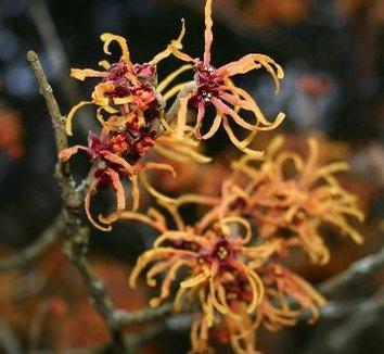 Hamamelis x intermedia 'Jelena' 6 flower
