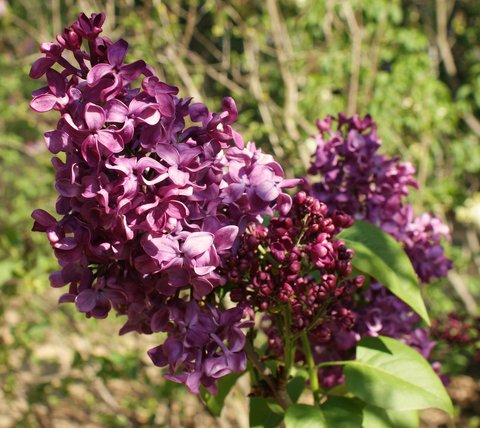 syringa vulgaris monge monge common lilac plant lust