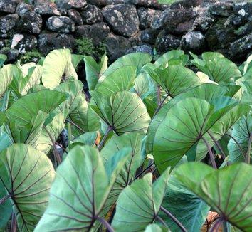Colocasia antiquorum 'Illustris' 6
