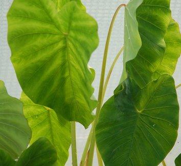 Colocasia antiquorum 'Illustris' 7