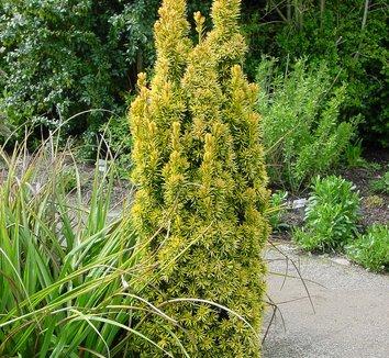 Taxus baccata 'Standishii' 1 form