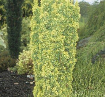Taxus baccata 'Standishii' 8 form