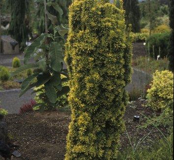 Taxus baccata 'Standishii' 9 form