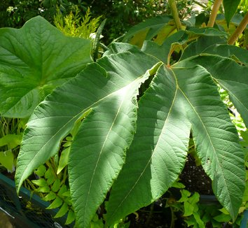 Tetrapanax papyrifer 'Steroidal Giant' 2