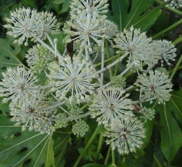 Fatsia japonica 3 flower