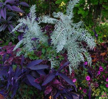 Tradescantia pallida 'Purple Heart' 6 landscape