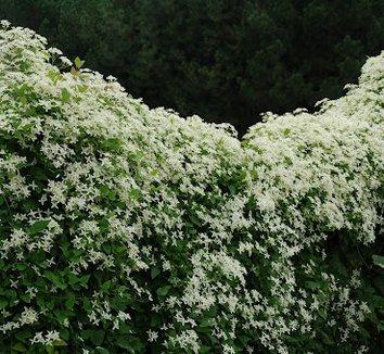 Clematis terniflora 8 flower
