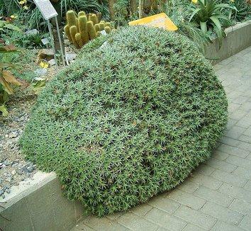 Deuterocohnia brevifolia 1 form