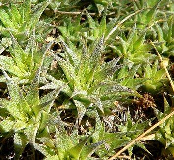 Deuterocohnia brevifolia 6
