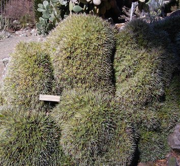Deuterocohnia brevifolia 10 form
