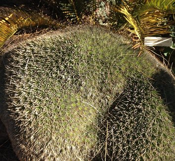 Deuterocohnia brevifolia 17