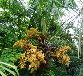 Trachycarpus fortunei 2