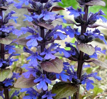 Ajuga reptans 'Bronze Beauty' 1 flower