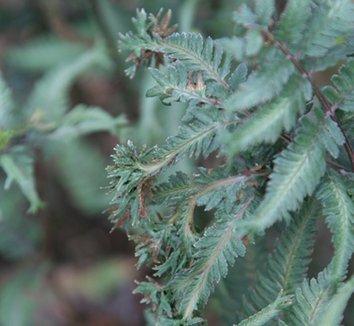 Anisocampium niponicum var. pictum 'Applecourt' 13